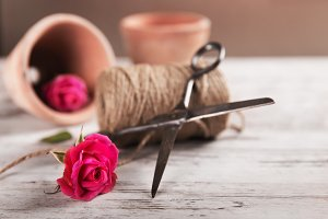Pink roses with flower pot, rope and scissors