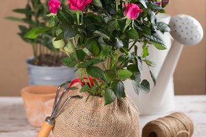 Red roses flowers with gardening tools