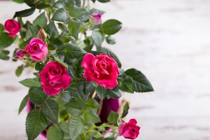 Pink bushed roses in pot