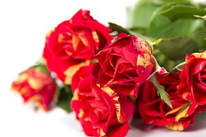 Bushed red rose flowers
