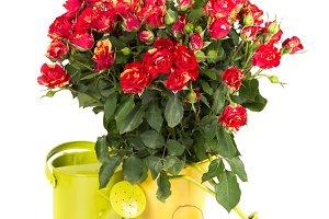 Gardening Bushed red rose flowers