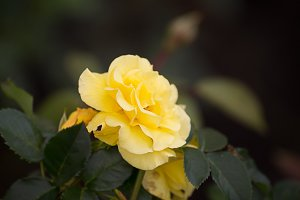 Perfect rose flowers in garden