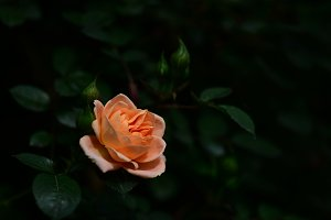 Peach Rose Dark Background