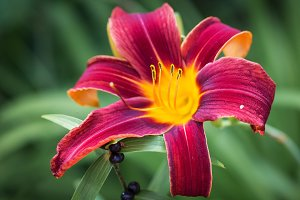 Perfect lily flower