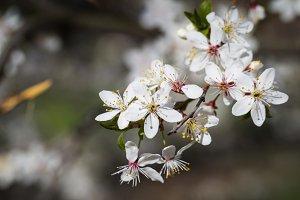 Blossom spring cherry tree