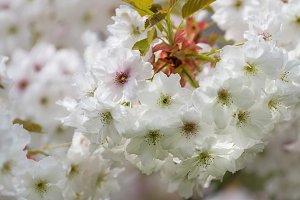 Spring blossom flower tree