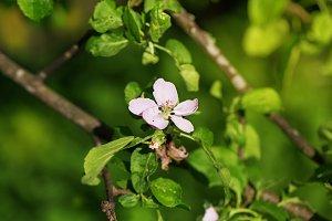 Spring blossom apple flower tree