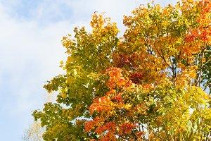 Fall autumn maple leaves