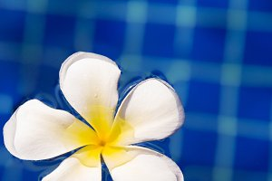 Tropical flower plumeria frangipani in swimming pool