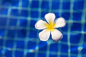 Tropical flower plumeria frangipani swimming pool