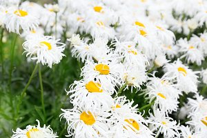 White crazy ox eye daisy background