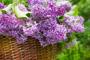 Fresh purple lilac flower bouquet on wood