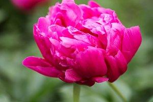 Perfect peony flower
