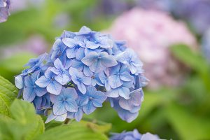 Hydrangea perfect flower