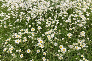 Summer daisy flower meadow field