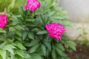 peony flower outdoors