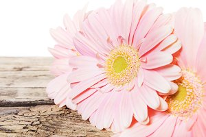 Pink daisy gerbera flower