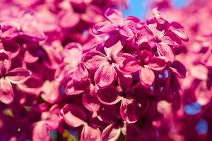 Summer lilac flower