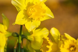 Daffodil narcissus spring flower