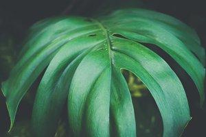 Close-up of monstera leaves texture in dark background - vintage split tone