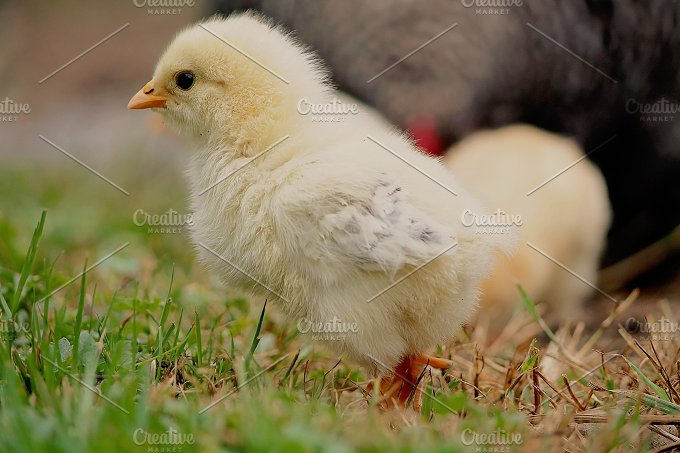 Baby Chick No. 2 - Animals