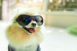 Dog pomeranian spitz wearing glasses
