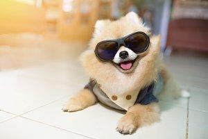 Dog Pomeranian