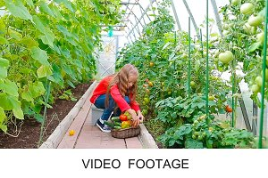 Adorable girl collects crop tomatos