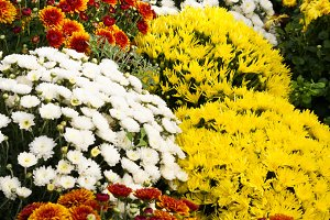 Colorful fall Chrysanthemums