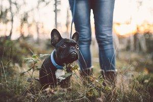 French bulldog autumn outdoors