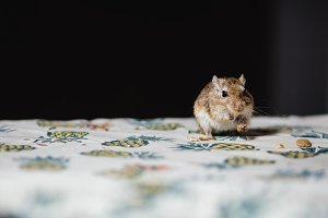Little gerbil mouse eat seeds and grains on the table