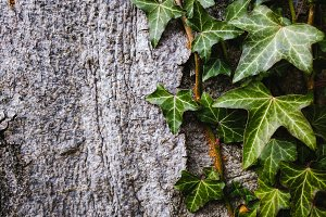 Ivy on Tree Trunk