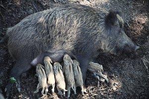 wild sow feeds piglets