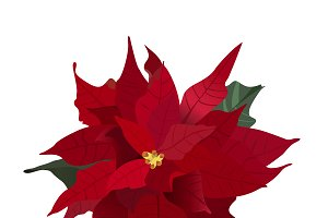 Poinsettia, Christmas flower, vector