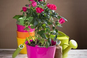 Perfect pink roses flowers and gardening tools