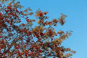 Rowan, ashberry fall autumn tree