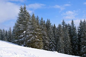 Christmas snowing firtree Forest