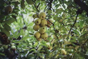 Golden Delicious Apples in the Tree