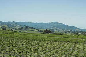 Vineyards of Napa Valley 3