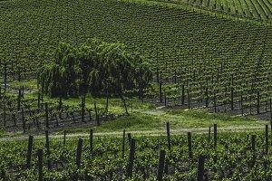 Vineyards of Napa Valley 6