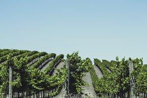Vineyards of Napa Valley 4