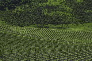 Vineyards of Napa Valley 1