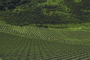 Vineyards of Napa Valley 1