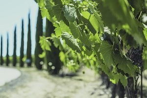 Vineyards of Napa Valley 5