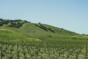 Vineyards of Napa Valley 3