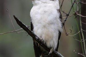 Laughing Kookaburra (Dacelo novaegui