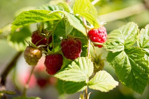 branch of ripe raspberries