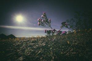 Purple Desert Flower