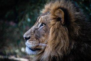 Majestic Lion