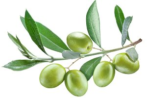 Branch of olive tree.